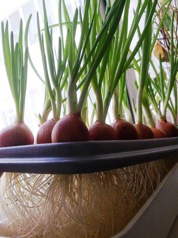 Гидропонике из на лук зеленый семена мешочек конопли нарву